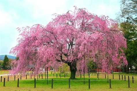 cherry tree near me edible cherry blossom tree mosaic is made from 10 000 scrumptious cupcakes inhabitat green