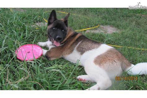 akita puppies for sale in houston akita puppy for sale near houston 07e9e092 5001