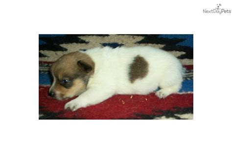 corgi puppies for sale in arkansas cowboy corgis available puppies breeds picture