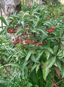 Examples Of Plant Diseases - ardisia marlberry