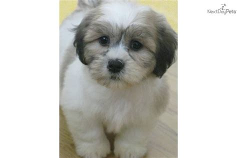 puppies in wisconsin shih tzu bichon mix and teddy shih tzu bichon poodle mix to breeds picture