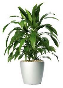 plants flowers 187 dracaena fragrans