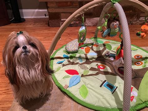 shih tzu top knot accessories how to do a topknot on shih tzu tutorials and pictures