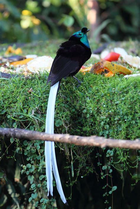 ribbon tailed bird of paradise