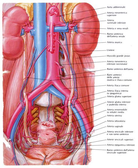 ecografia pelvica interna ecografia rene ecografia