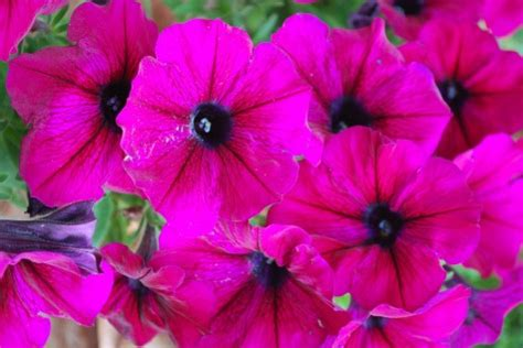 petunias in containers dirt simple