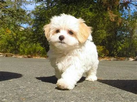 puppy classifieds malshi mix teddy puppy 4 sale for sale
