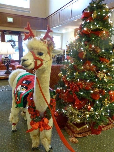 llamas alpacas images  pinterest animals farm animals  hobby farms