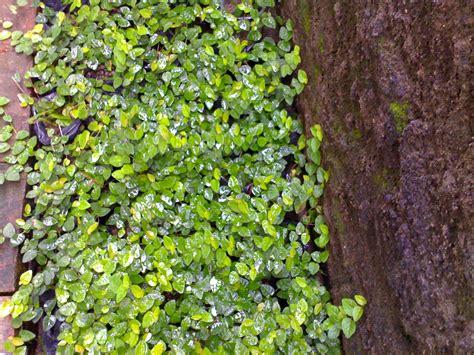 Tanaman Rambat Pohon Dollar Daun Besar tanaman hias merambat dollar pohon dollar berbakat taman