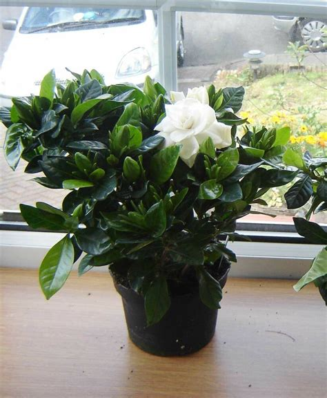cm highly scented fragrance gardenia crown jewels