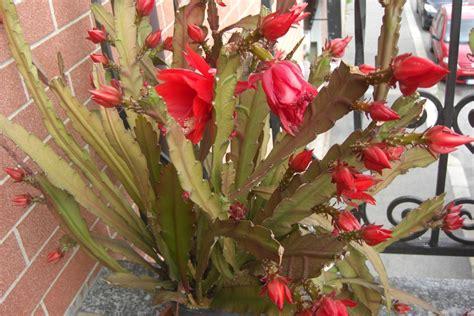 pianta grassa con fiore rosso lingua della suocera