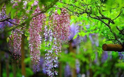 wisteria wallpaper wisteria wallpaper hd hd desktop wallpapers 4k hd