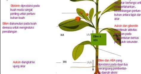 membuat zat pengatur tumbuh organik hormon tanaman