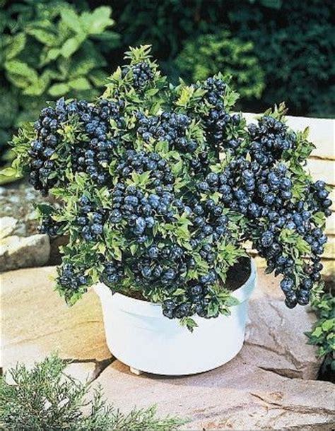 Top Hat Patio Blueberries by Growing Blueberries Blueberries And Top Hats On