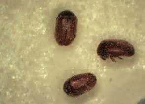 tiny beetles in my kitchen garage raleigh pest