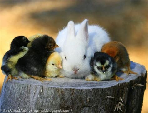 cute rabbits and chicks cute and funny pictures of animals 37 little animals