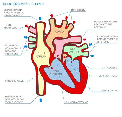 diagram human human diagrams diagram site