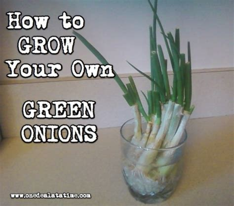 how to grow your own green onions mylitter one deal at
