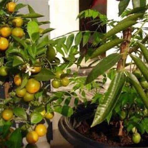 Pohon Jeruk Lemon By Alirashop jual bibit unggul tanaman jeruk lemon cui bibit