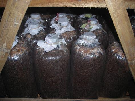 Bibit Jamur Tiram Yogyakarta jamur tiram bibit
