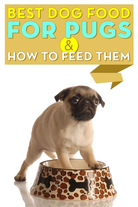 what to feed my pug pug food food
