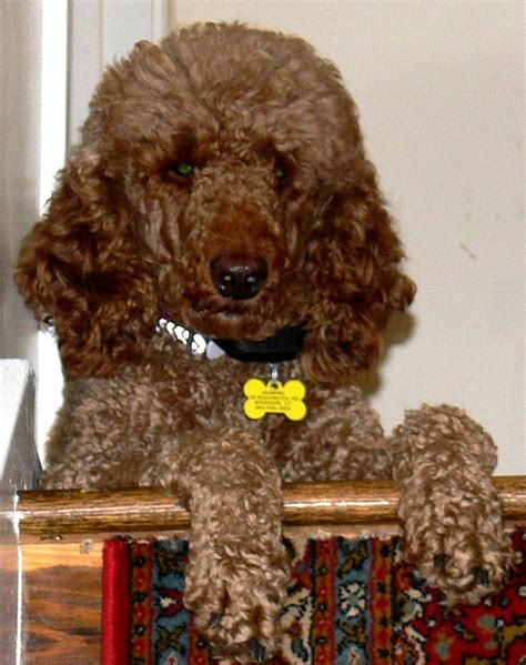 puppies ri standard poodle puppies rhode island photo