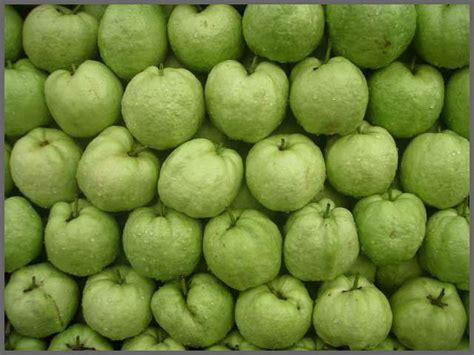 Jual Bibit Bunga Di Jambi harga jual bibit jambu di jambi www stewartflowers net