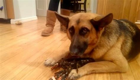 can dogs eat lobster befriends lobster and won t let anyone take new friend away