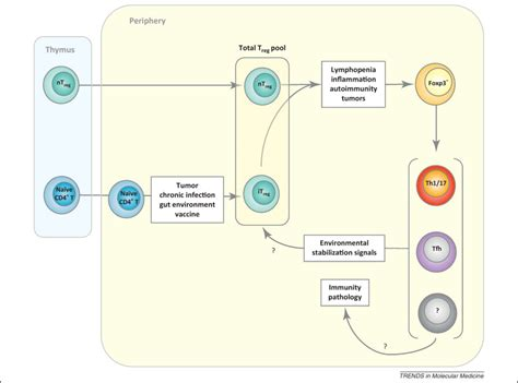 figure 1 regulatory t cell functional stability of foxp3 regulatory t cells trends