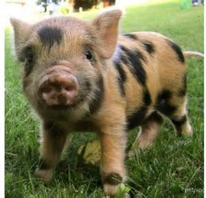 best 25 pot belly pigs ideas on pinterest mini potbelly