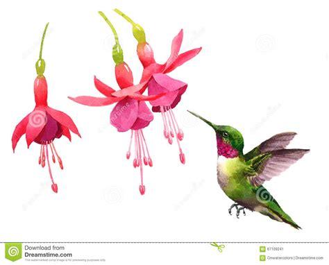 hummingbird flying around fuchsia flowers watercolor bird