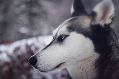 how to take care of a husky puppy breed siberian husky temperament and personality dogalize