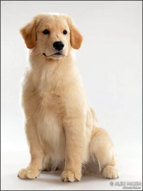 purebred golden retriever rescue buy purebred golden retriever assistedlivingcares
