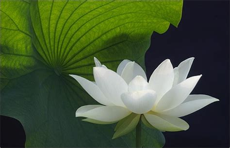 white lotus  big green leafjpg  comment