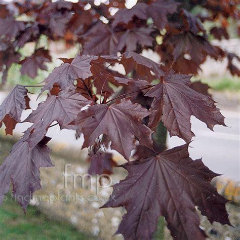 plant pictures acer platanoides crimson king purple