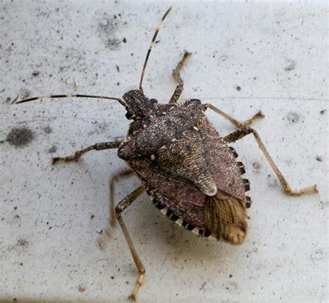 comfort inn manhattan bridge bed bugs brooklyn bug halyomorpha halys bugguide net