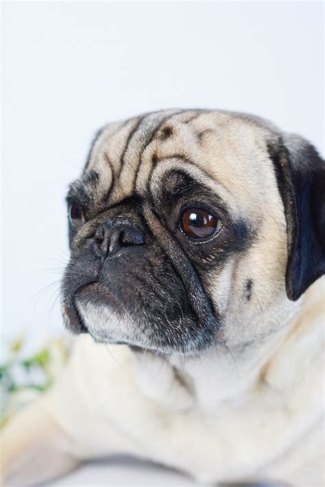pug with longer snout 10 things you may not about apollo sed bona