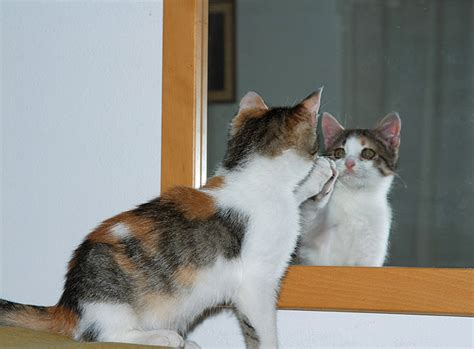 Cat Mirror cats cats in mirror