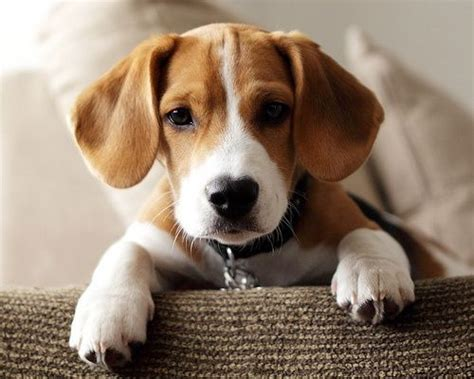 beagle hound puppies 585 best beagle puppies images on