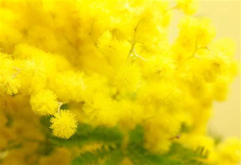 fiore delle donne festa della donna ecco perch 233 si regala la mimosa blitz