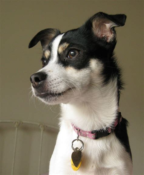 terrier dogs rat terrier info temperament care puppies pictures