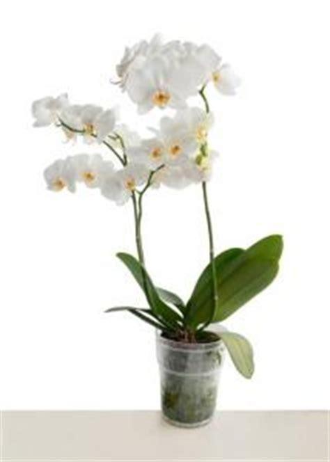 come curare l orchidea in vaso curare l orchidea