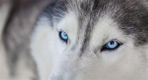 husky con occhi diversi beautiful husky with blue photo free