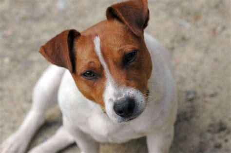 russel alimentazione cuccioli terrier carattere e informazioni sulla razza