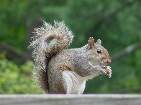 squirrel animal wildlife