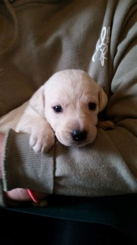 golden retriever puppies for sale in gloucestershire beautiful golden labrador puppies for sale newnham gloucestershire pets4homes