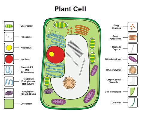 Plant Cell Worksheet by Cells Worksheet From Times Tutorials