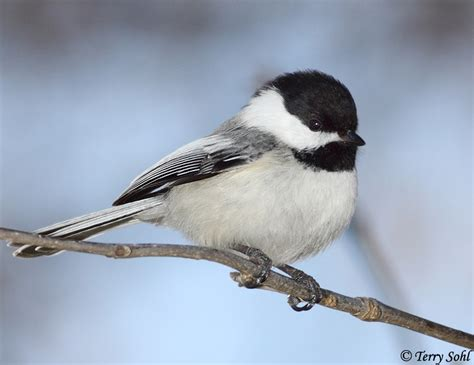 black capped chickadee south dakota birds and birding