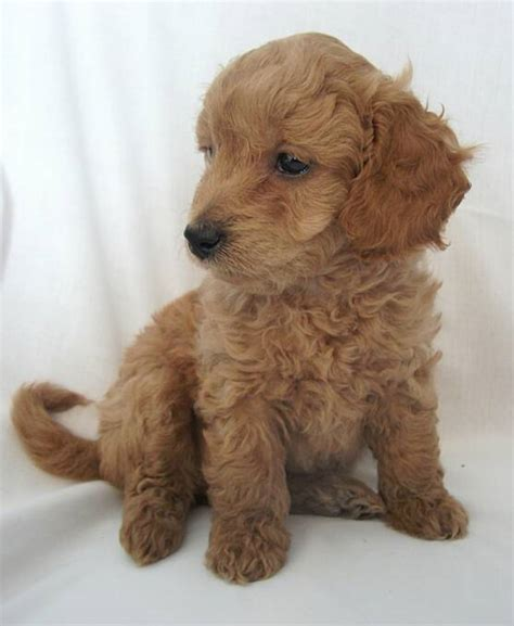 mini doodle breeders 8 things to about the miniature goldendoodle mini