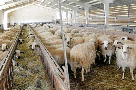 las fotos m 225 s de corrales en instagram nuevo recurso para diferenciar el lechazo assaf de las razas de ovino aut 243 ctono castilla y